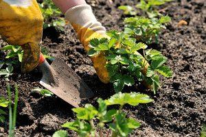plantarea-capsunului